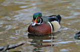 Canard Branchu _ Wood Duck