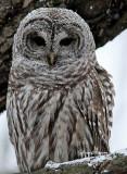 Chouette Rayée  (Barred Owl ) ( Full-frame )