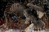Chouette Lapone - Great Grey Owl