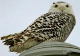 Harfang des Neiges juvénile (Snowy Owl / Full Frame