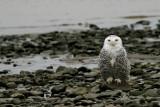 Harfang des Neiges juvénile (Snowy Owl