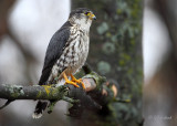 Merlin / Tiny Falcon / Warning..Some Graphic Content