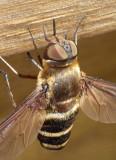 Beefly10.jpg