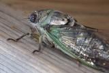 Cicada15.jpg