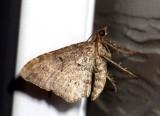 EupitheciaMoth2.jpg