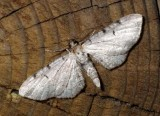 EupitheciaMoth6.jpg