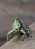 Grasshopper10.jpg