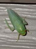 Leafhopper3.jpg