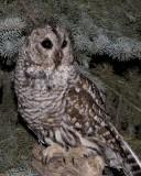 Northern Hawk Owls & Barred Owls