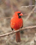 Cardinals & Allies