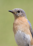 EasternBluebird142.jpg