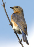 EasternBluebird167.jpg