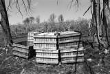 apple orchard - off season