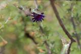 Lucifer Hummingbird breeding display