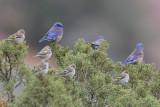 Western Bluebird and Pine Siskin