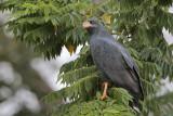 Mangrove Black Hawk