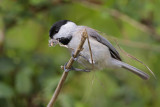 Carolina Chickadee gathering nest material