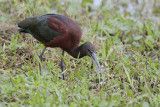 Glossy Ibis (White-faced Ibis hybrid?)