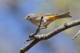 Colima Warbler