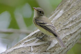 Willow/Alder Flycatcher
