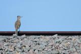 Greater Roadrunner (railroad runner!)