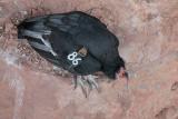California Condor