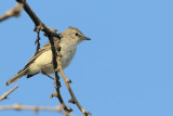 Gray-and-white Tyrannulet