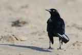 Great-tailed Grackle (with white tail-feathers)