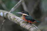 Green-and-rufous Kingfisher