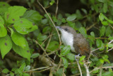 Yellow-billed Cuckoo Nestling/Fledgling?