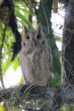 Pacific Screech Owl