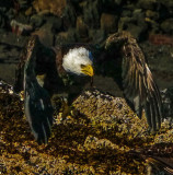 Gallery Eighty-six: An American safari -- wildlife photography in southeast Alaska's wilderness