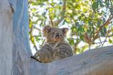 Koala at Kurrajong