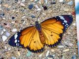 Plain Tiger/ African Monarch
