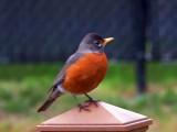 American Robin Painting