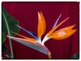 Bird of Paradise - Strelitzia