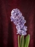 Hyacinth Painting