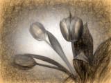 Da Vinci Tulip Sketch