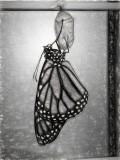 Newborn Monarch Sketch