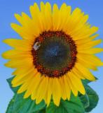 Sunflower 98