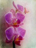 Shy orchids,,,