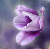 A tulip....