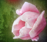 Born from the strange love between a tulip and a sea-shell....