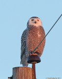 Snowy Owls and Such