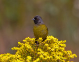 Large-footed Finch