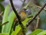 Cherries Tanager