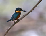 American Pygmy-Kingfisher