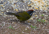 Sooty-faced Finch