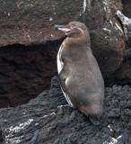 Galapagos-Penguin-Isabela-Punta-Moreno-23-Nov-2011-IMG_7598.jpg