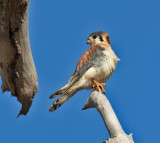 American-Kestrel-male-Hectors-River-Jamaica-22-March-2016-Sam-Woods_S9A2257.jpg